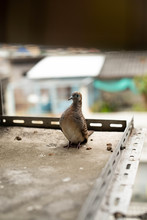 Zebra Dove Sitting Comfortably On Banch