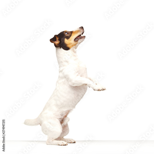Obraz na plátně  Jack Russell Terrier, one years old, jumping on white background