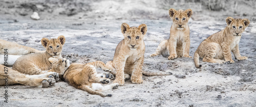 Photo lioness and cubs
