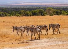 Herd Five 5 Plains Zebra Equus Quagga Walking Golden Grass Plains Hills In Distant Landscape Masai Mara National Reserve Kenya East Africa