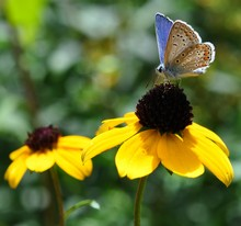 Bluebird Butterfly Sits On The Flowers Of Yellow Rudbeckia On A Hot Summer Day Against The Backdrop Of Greenery.
