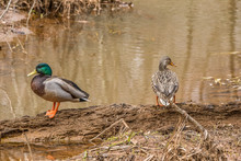 Mallards Female And Male Ducks
