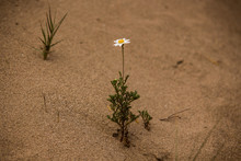 Blume Im Sand