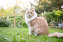 Beige Fawn Maine Coon Cat Sitting In Garden Looking At Camera  On A Sunny Summer Day