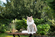Beige White Maine Coon Cat Sitting On Garden Table In Back Yard Looking At Camera