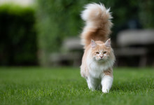 Beige White Maine Coon Cat Wit...