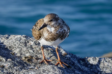 Ruddy Turnstone 22