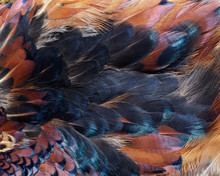Closeup Abstract Background Image Of Colorful Ring-necked Pheasant Feathers