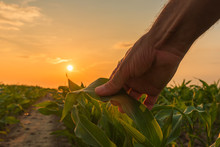 Farmer Is Examining Corn Crop Plants In Sunset