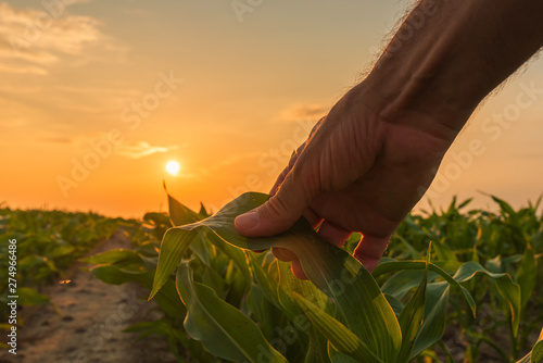 Photo Farmer is examining corn crop plants in sunset