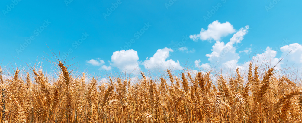 Fototapety, obrazy: Golden wheat field panoramic low angle view