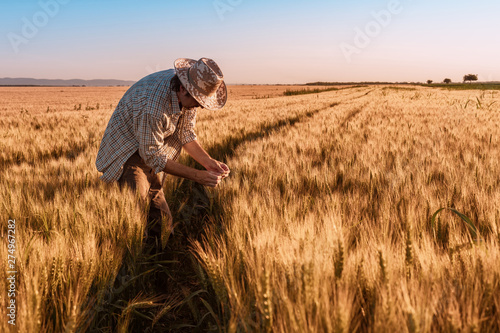 Fototapeta Agronomist farmer is inspecting ripening ears of wheat in field obraz