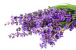 lavender flowers isolated on white background. bunch of lavender flowers.