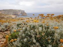 Yellow Endemic Flower Maltese Everlasting (Helichrysum Melitense) In Dwejra With Fungus Rock In The Background, Gozo Malta.