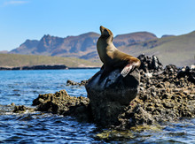 Sea Lion On A Rock In The Sea Of Cortez