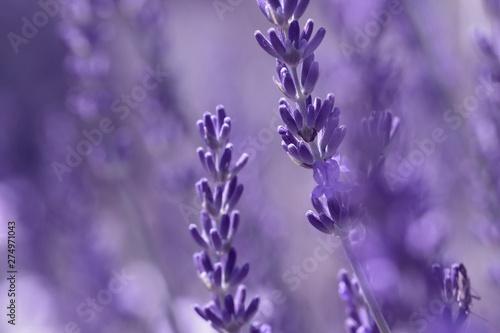 Spoed Fotobehang Lavendel Lavender flower on the field.