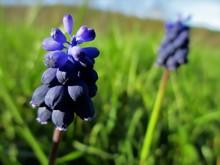 Fleur Bleue De Muscari Sauvage Au Premier Plan Avec Une Autre Floue Au Second Plan, Dans Une Prairie Au Printemps
