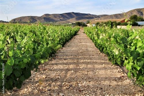 Landscape of vineyards in Jumilla, Murcia province