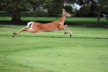 Deer Running On Golf Course