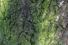 Moss On The Bark Of An Old Tre...