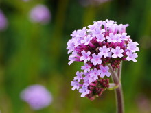 Close Up Of A Pale Purple Verbena Bonariensis Flower With Others Behind
