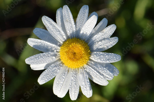 Photo Daisy Mandala Sun 01