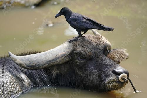 水牛とカラス
