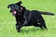 canvas print picture - Black Labrador retriever running across a field