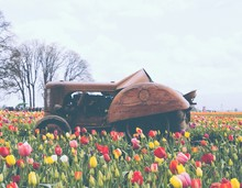 Field Of Blooming Beautiful Colorful Tulips With An Old Rusty Tractor In The Middle