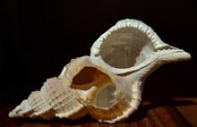 Leere Schale Einer Spiralförmigen Muschel Auf Einem Holz Vor Dunklem Hintergrund