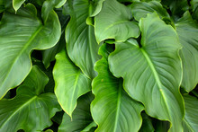 Calla Lily Flower Leaves