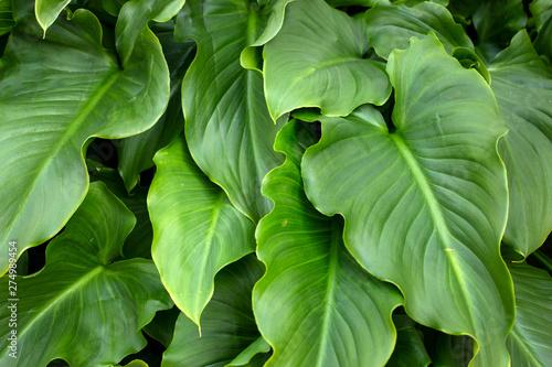 Fototapeta  calla lily flower leaves