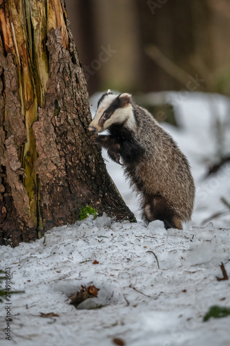 Fotomural badger running in snow, winter scene with badger in snow