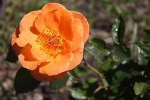 Orange Rose In Garden