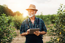 Sixty Years Old Beard Agronomist Inspecting Trees In Orchard And Using Tablet Computer.