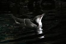 Razorbill Bird Bathing