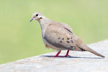 Closeup Of A Morning Dove With...