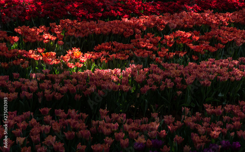 Garden Poster Brown Dramatic landscape of red tulip flowers lit by sunlight. Tulip is a pot flower plant, Cultivars are used as ornamental plants.