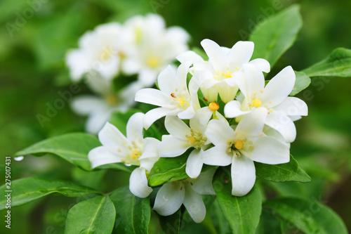 Fotografie, Obraz close up of beautiful orange jasmine flower