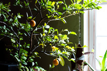 Calamondin Plant With Citrus A...