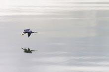 A White Faced Heron (Egretta N...