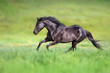 Black stallion run gallop on green field