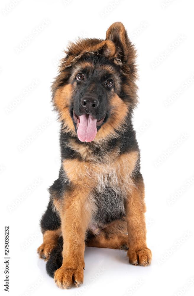 Fototapety, obrazy: puppy german shepherd