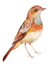 Bird Nightingale Watercolor Il...