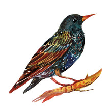 Starling Bird Illustration In Watercolor On Isolated White Background