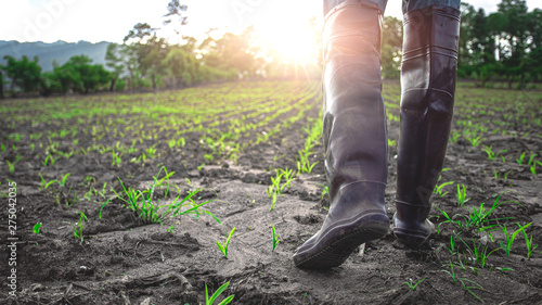 Obraz Farmer in rubber boots walking in the cornfield at sunset. agricultural concept. - fototapety do salonu
