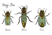 Honey Bee Archetypical Caste Specimens,  Worker, Queen And Drone, High Quality Vintage Engraved Color Illustration Style, Hand Drawn Doodle, Sketch, Vector With Inscription