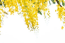 Cassia Fistula Flowers Or Golden Shower Flower With Copy-space For Nature Background