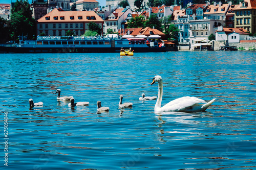 Fotobehang Zwaan A family of Swans, mother and little Swanlings on the river Moldau in Prague, Czech Republic