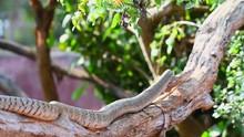 Rat Snake Moving On Tree Closeup Shot Long Wild